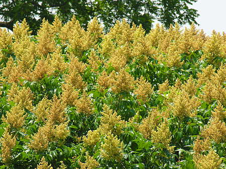 Sumac Blooming