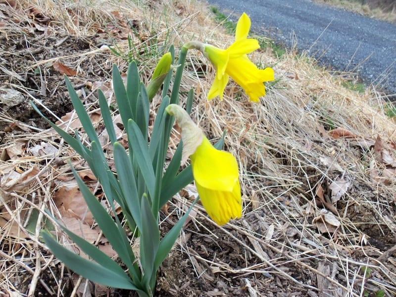 Daffodils2015