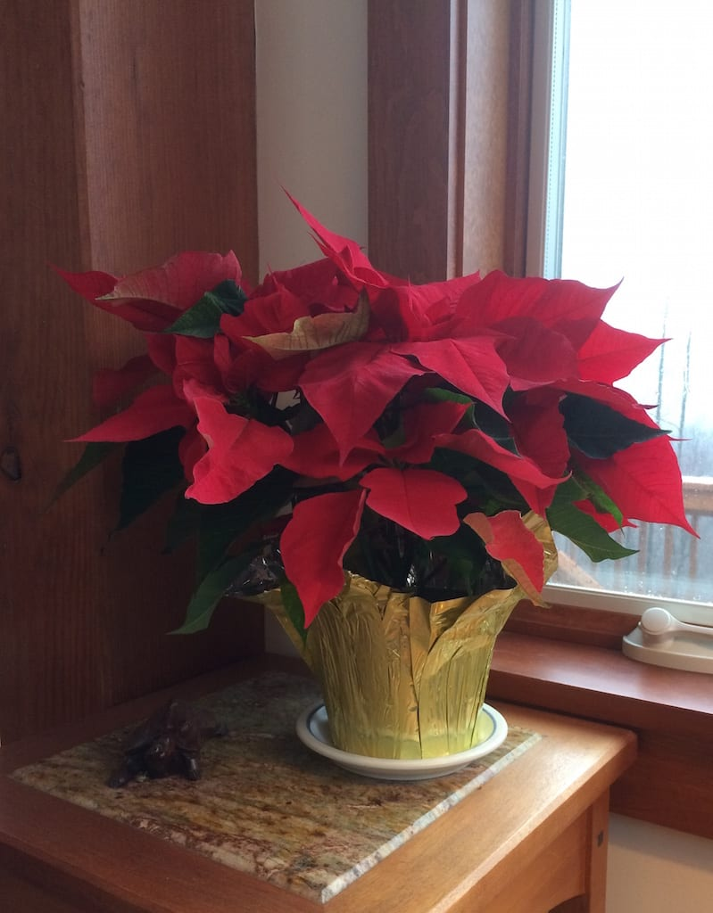 jan2017poinsettia